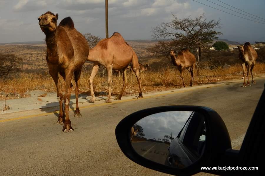 Camel w Omanie