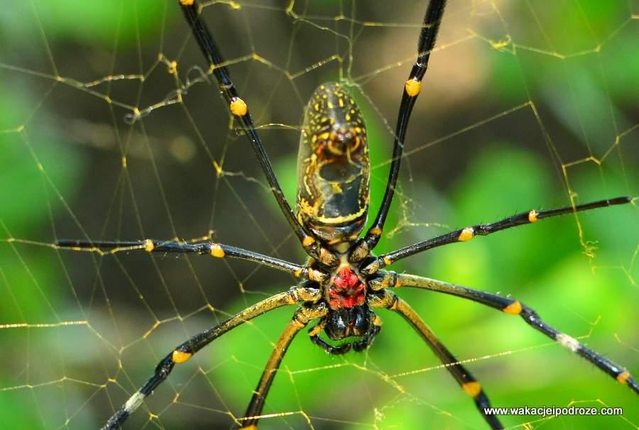 największe pająki