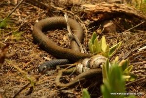 Węży w Hiszpanii jest na prawdę sporo