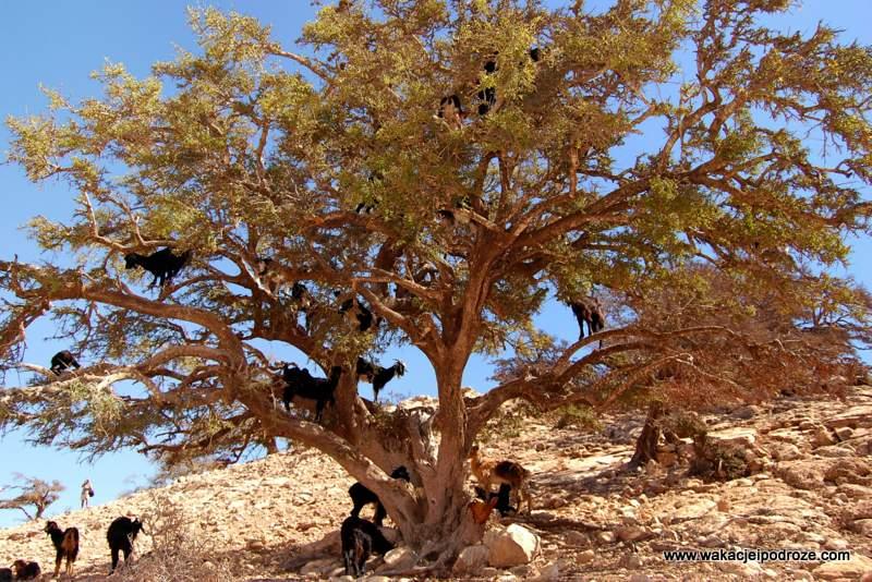 Agadir kozy na drzewie