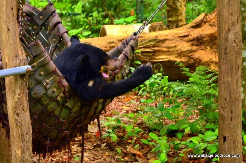 Laos niedźwiedź