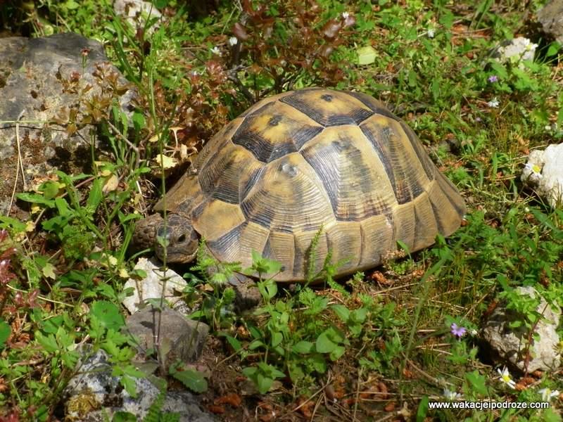Turcja żółw